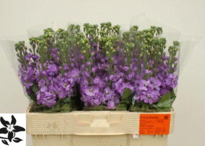 Figaro Lavender