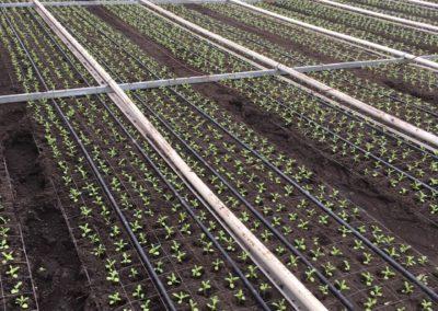 planten violier 2